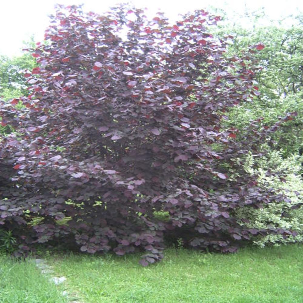pépinières de plombières - les arbustes